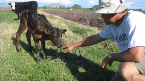 John with day old calf