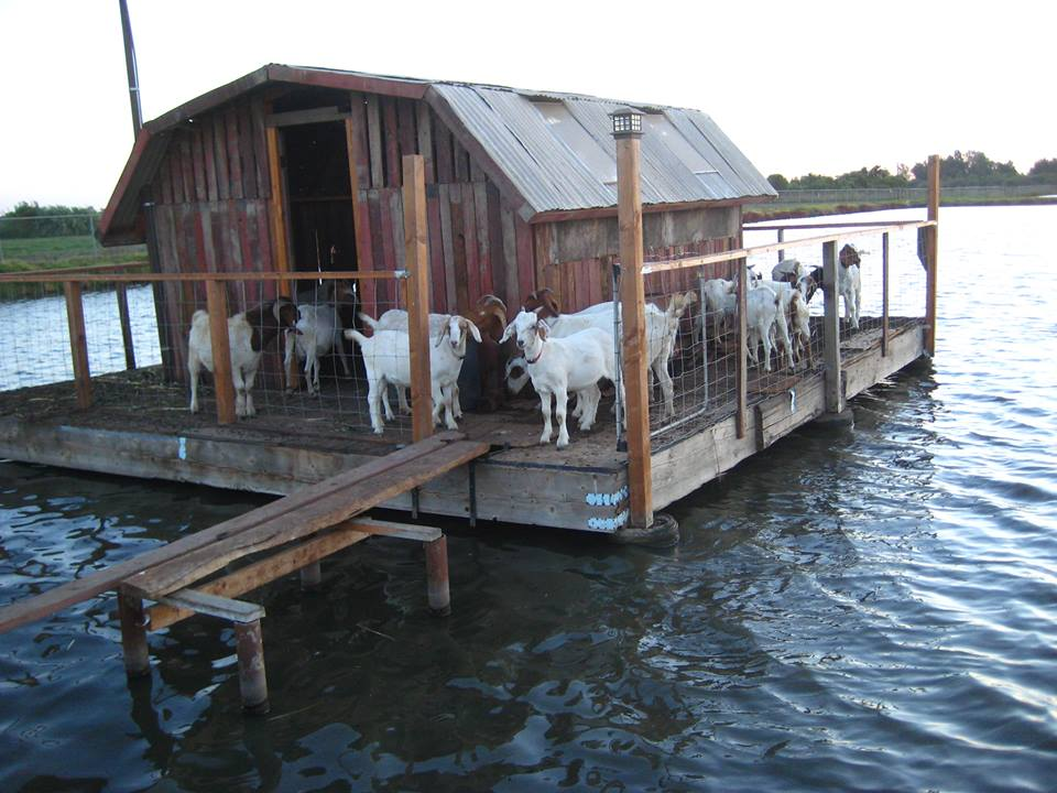 Goats on goat house little house on the fish farm near for Fish farms near me