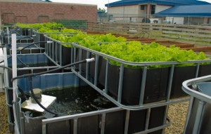 Aquaponic System at Sanger High School