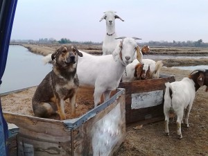 goats and dogs in box-001