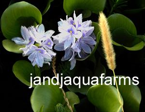 jandj hyacinths