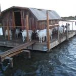goats on goat house